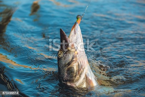 914030378 istock photo Fish pike caught on a hook 870499514