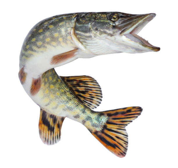 Fish pike isolated. Freshwater alive river fish with scales Fish pike isolated. Freshwater alive river fish with scales pike fish stock pictures, royalty-free photos & images