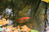 Bucolic and suggestive image from a goldfish breathing on the water surface.
