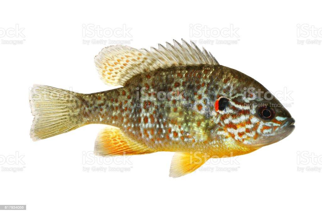 Fish Pumpkinseed Lepomis gibbosus sunfish pond perch stock photo