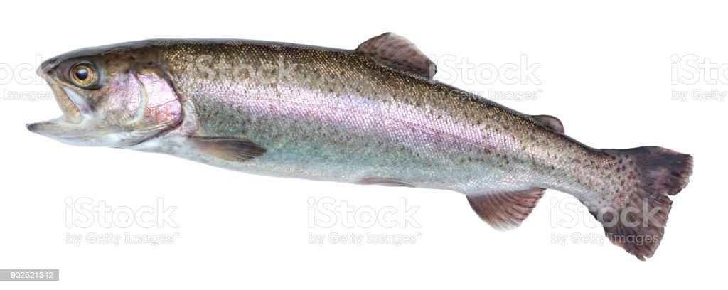 Fish rainbow trout, jumping out of the water, isolated on a white background stock photo