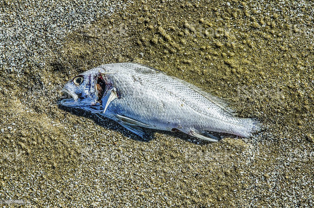 Fish rotting on sand beach royalty-free stock photo