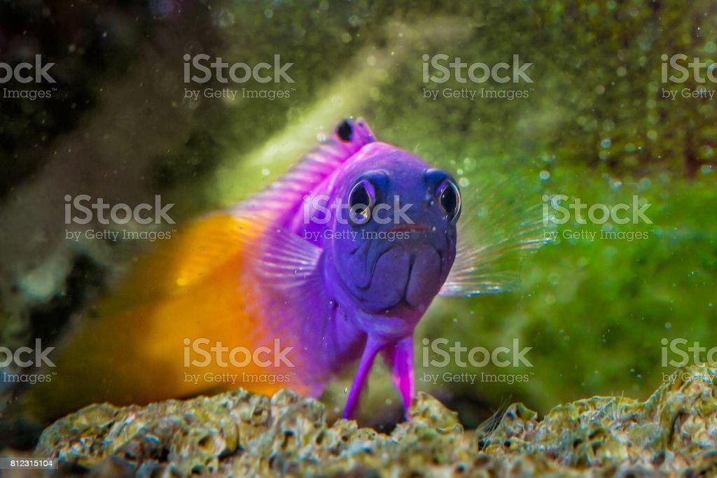 Fish Royal Gramma stock photo