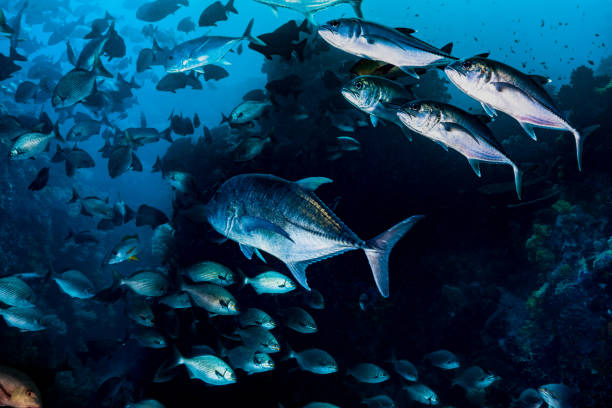 Fish Rush Hour of Snappers, Trevallies and Chubs in the Komodo National Park stock photo