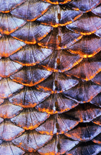 Fish (Roach, Rutilus rutilus) scale close-up. The row of lateral line scales is visible in the middle of the image. Image appears a bit soft due to the epidermal mucus covering the scales. Scanned from film.