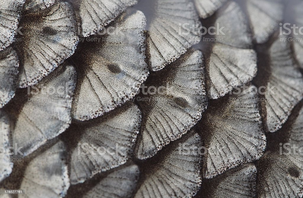 fish scale royalty-free stock photo