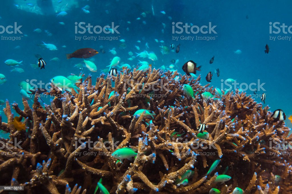 Fish schooling on coral head stock photo