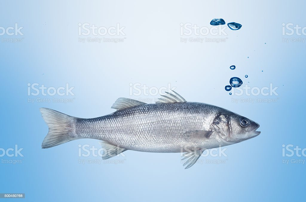 fish seabass under water stock photo