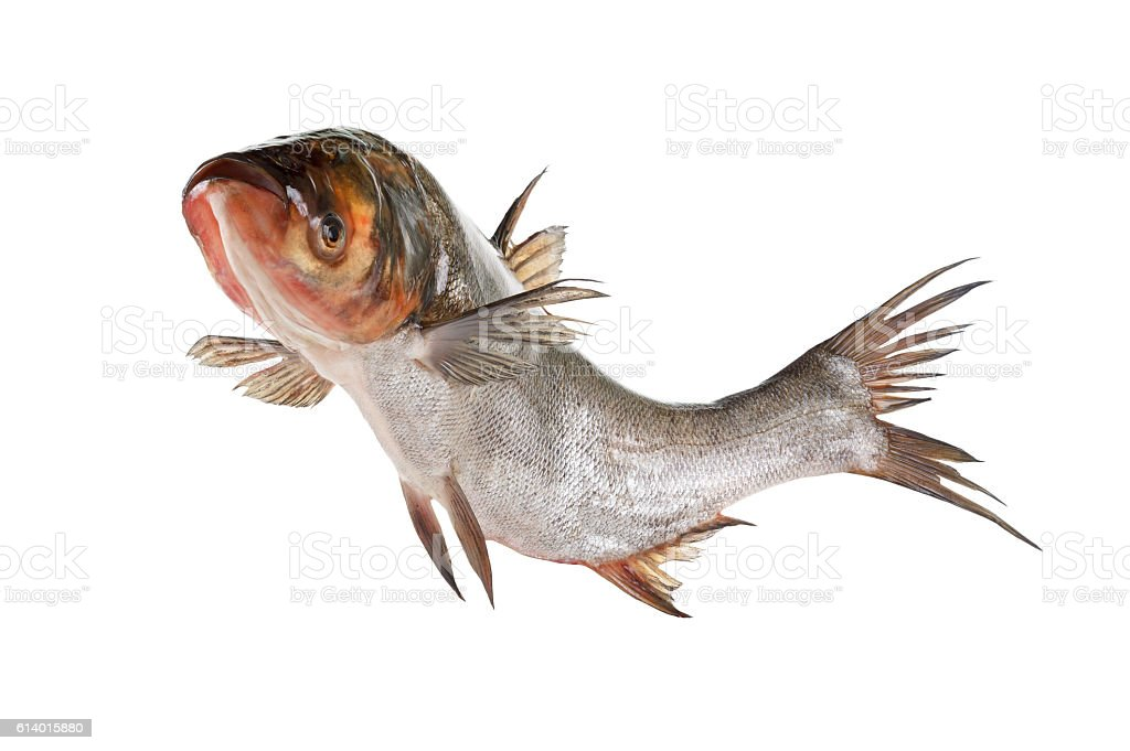 Fish silver carp isolated on white stock photo