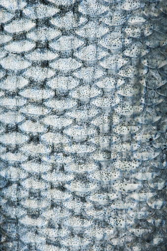 Macro shot of the texture of a fish skin.