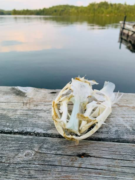 Fish skull by the lakeside stock photo