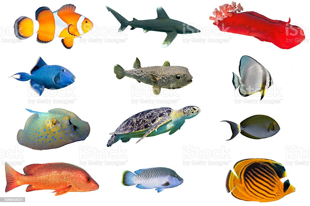 Fish species index of red sea fish isolated on white stock for Fische arten