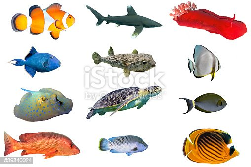 Fish species index of red sea fish isolated on white stock for Types of red fish