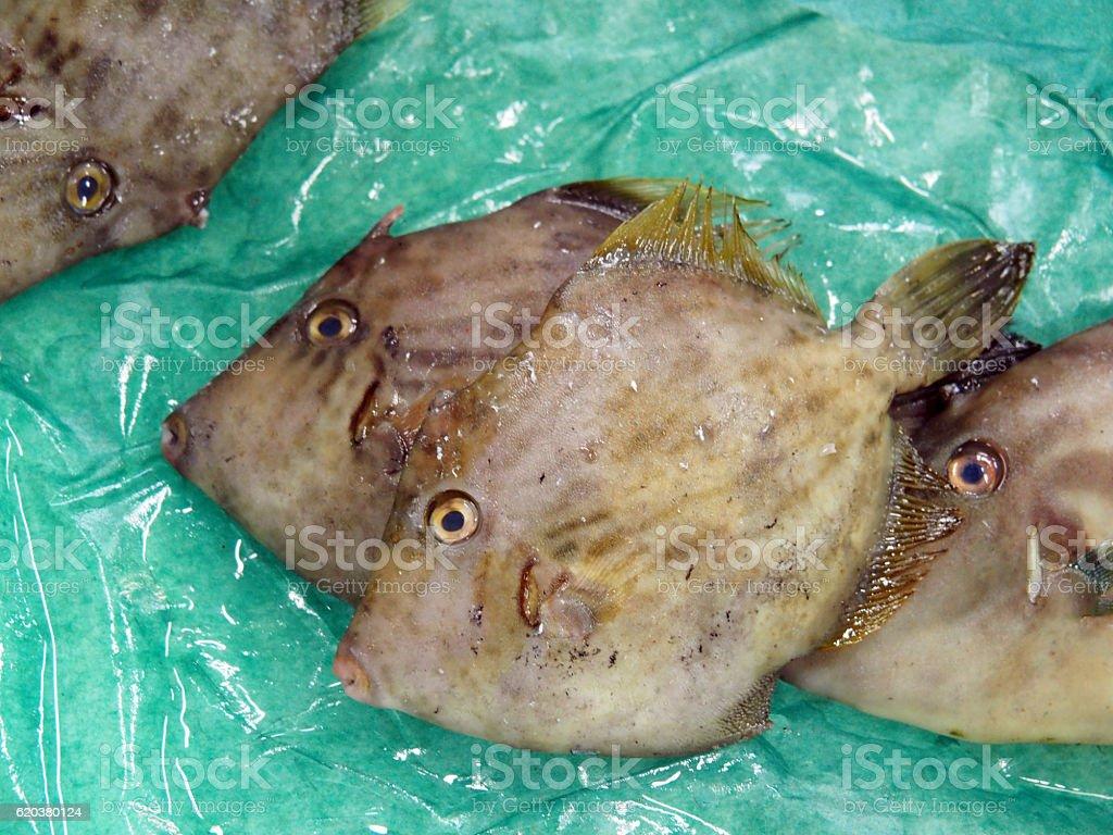 Fish, Stephanolepis, Filefish zbiór zdjęć royalty-free
