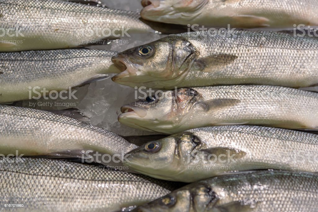 Fish still life. European seabass on ice. Fresh fish stock photo