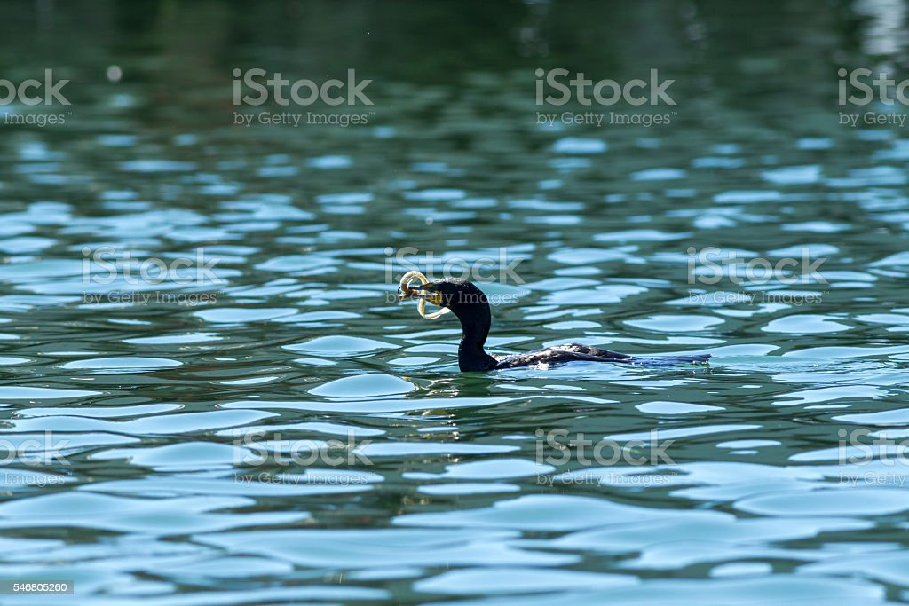 Fish struggles to get away from Pelagic Cormorant. stock photo