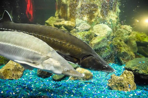 Fish sturgeon swims in the aquarium of oceanarium. Sturgeon fish stock photo