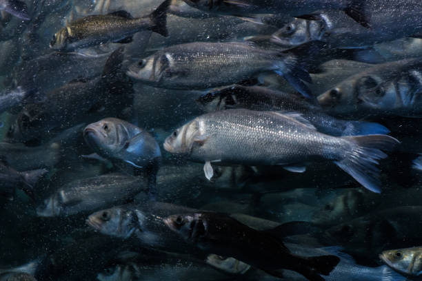 fish swarm, many fishes swimming in one direction - herring stock photos and pictures