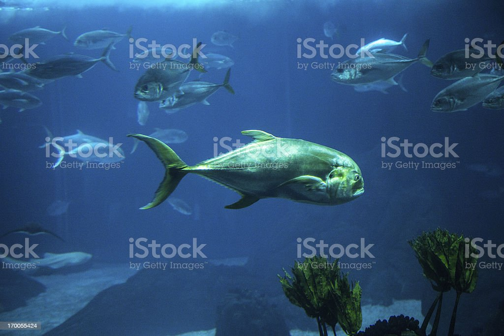 Fish swimming in aquarium royalty-free stock photo