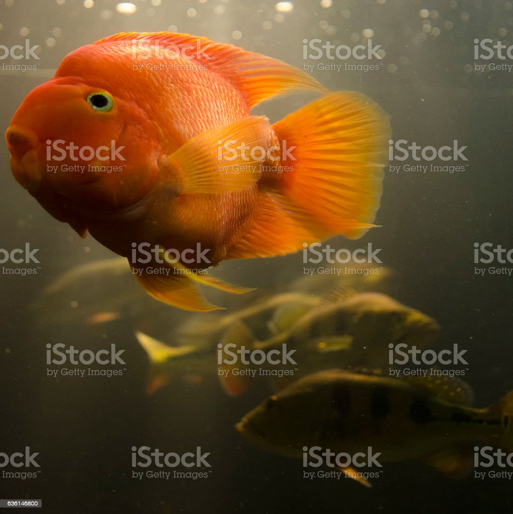 Fish swimming in aquarium stock photo