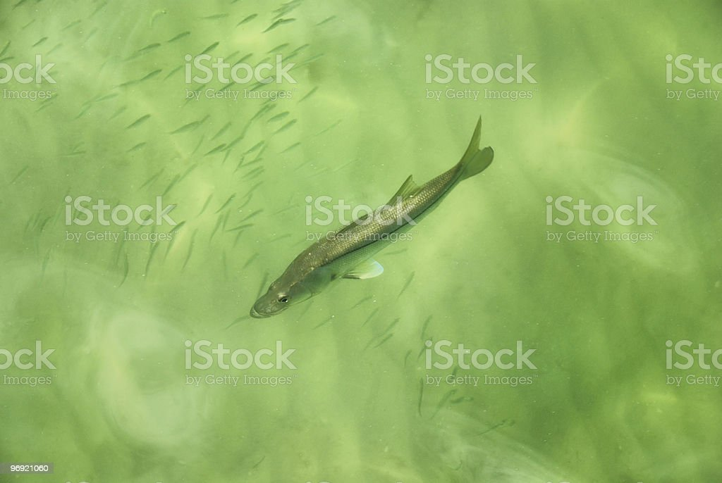 Fish swimming through minnows royalty-free stock photo