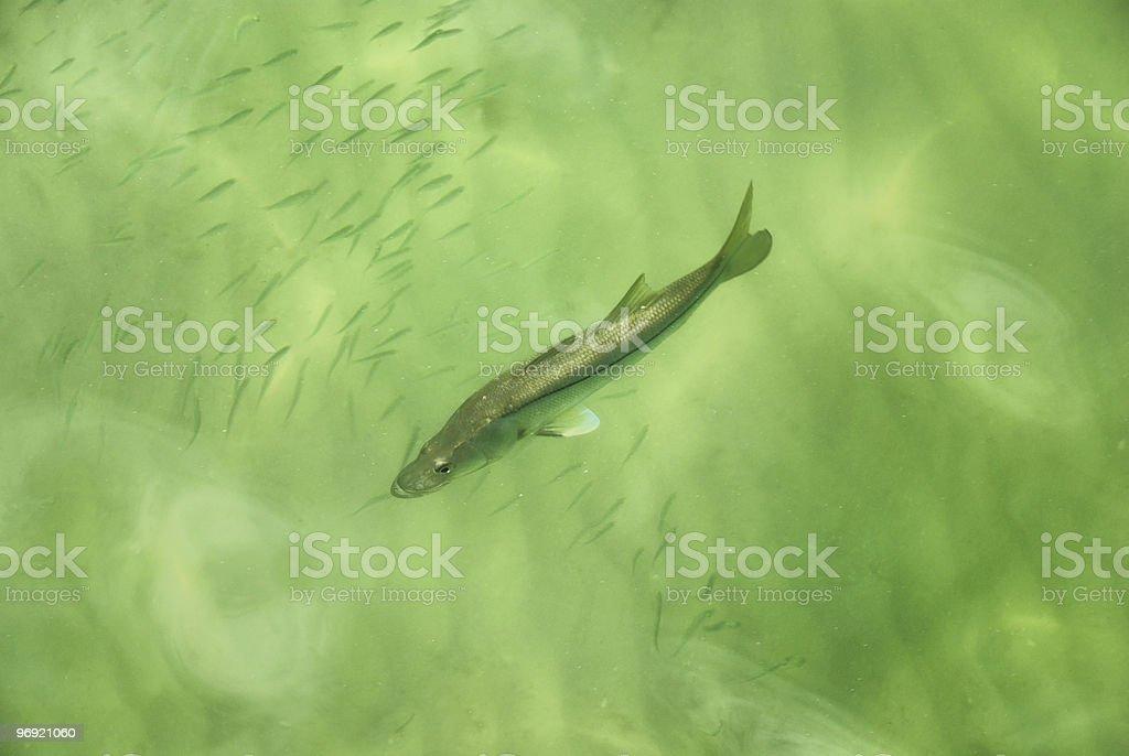 Fish swimming through minnows stock photo
