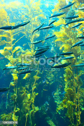 istock Fish swimming through sunlit kelp forest 1090592416