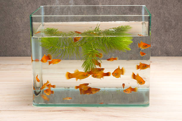 fish tank on table wooden - home aquarium stock photos and pictures