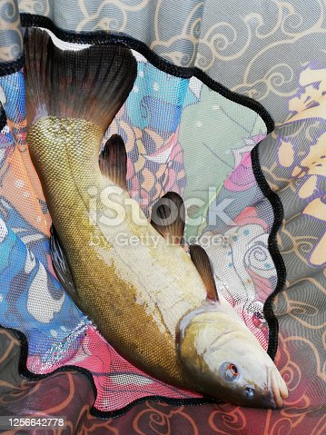 istock fish tench in a net caught by a fisherman 1256642778