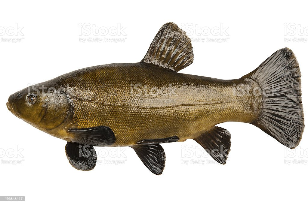 Fish tench stock photo