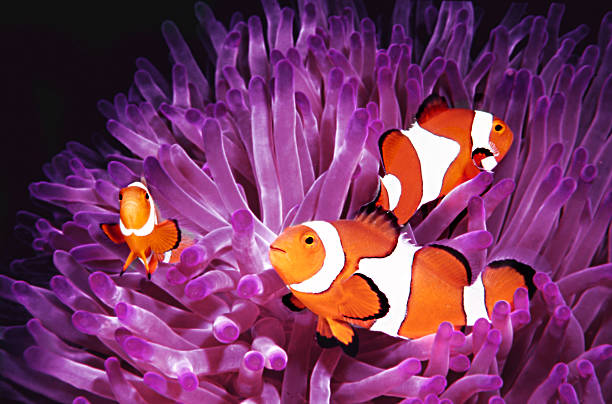 Fish: Topical saltwater, clownfish (Amphiprion Ocellaris)  anemonefish stock pictures, royalty-free photos & images