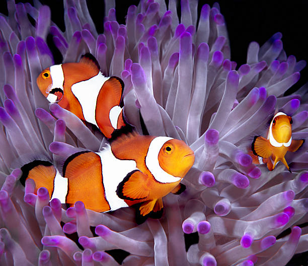 Fish: Tropical saltwater, clownfish, anemonefish (Amphiprion Ocellaris)  anemonefish stock pictures, royalty-free photos & images
