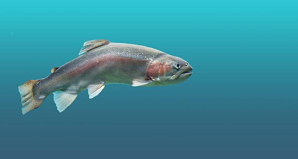 Fish trout in seawater. – Foto