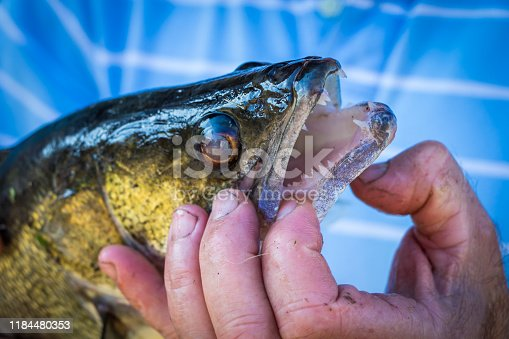 139888169istockphoto Fish with open mouth in the hands of the fisherman 1184480353