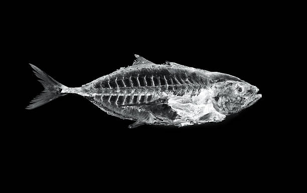 fish x ray fish x ray tuna animal stock pictures, royalty-free photos & images