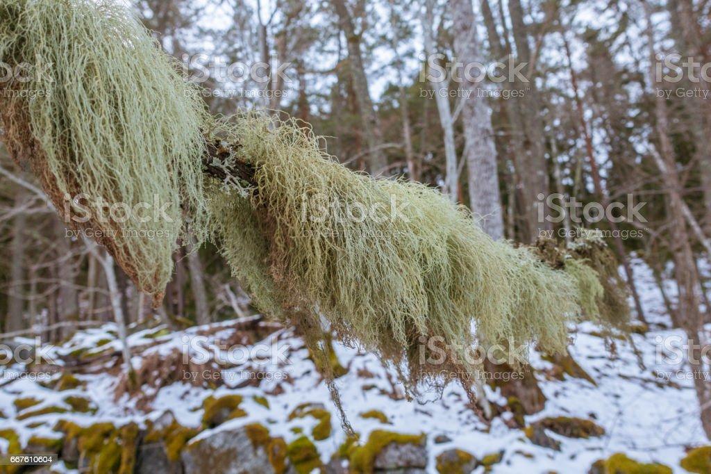 Fishbone beard lichen stock photo