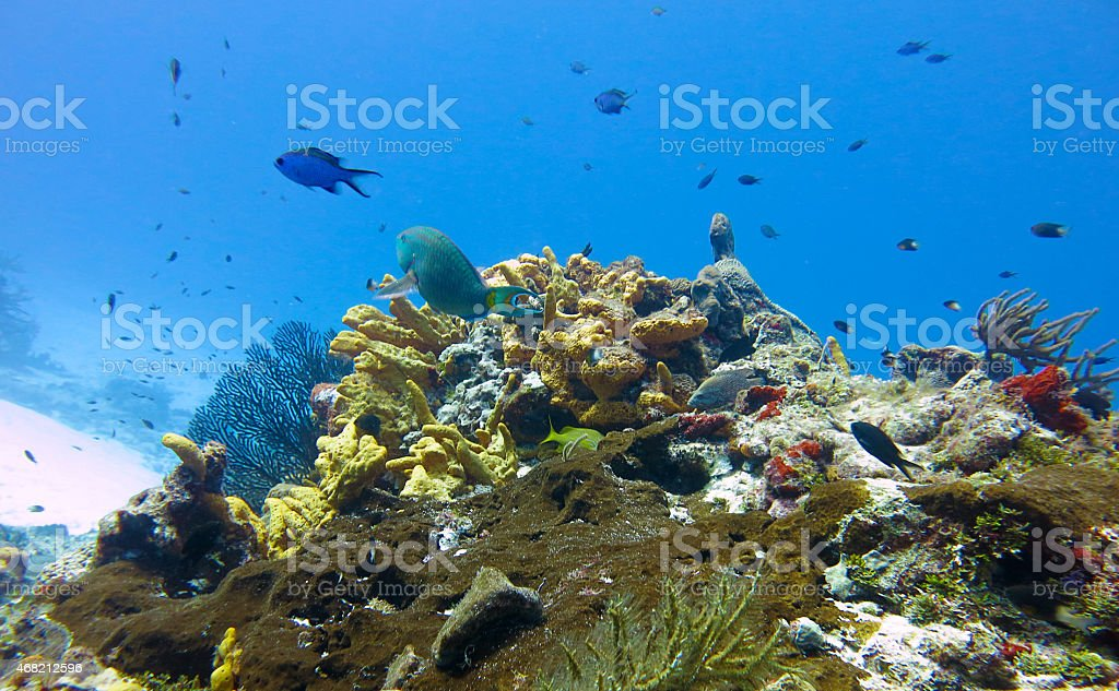 School of fish in underwater photo in Caribbean sea with corals and...