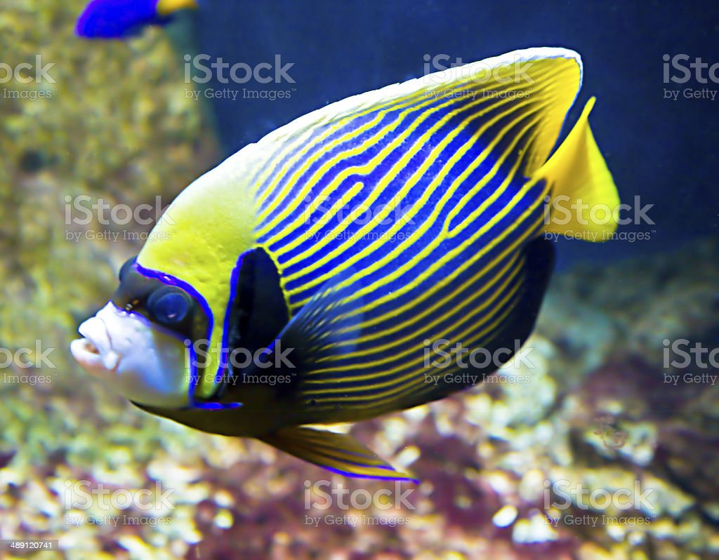 Fish-emperor (fish-angel) stock photo