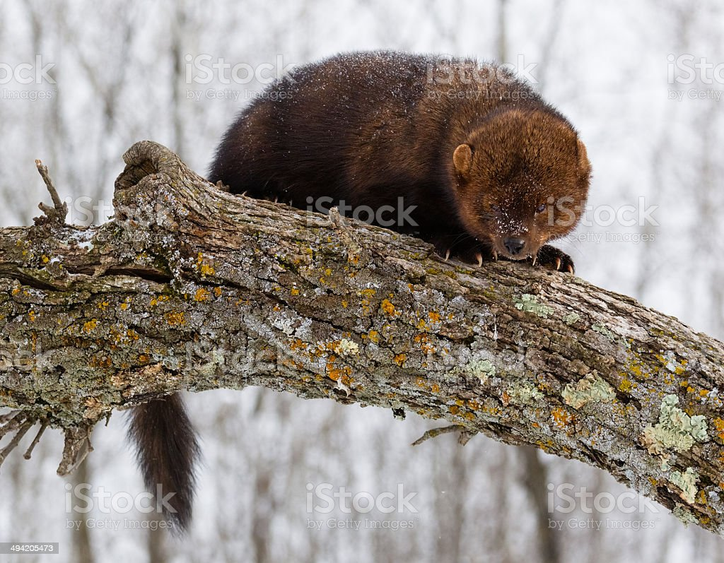 Fisher Cat stock photo