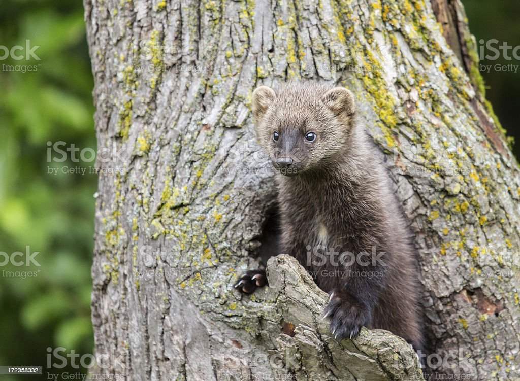 Fisher royalty-free stock photo