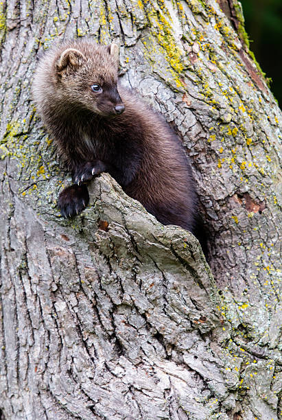fisher - mammal stock photos and pictures