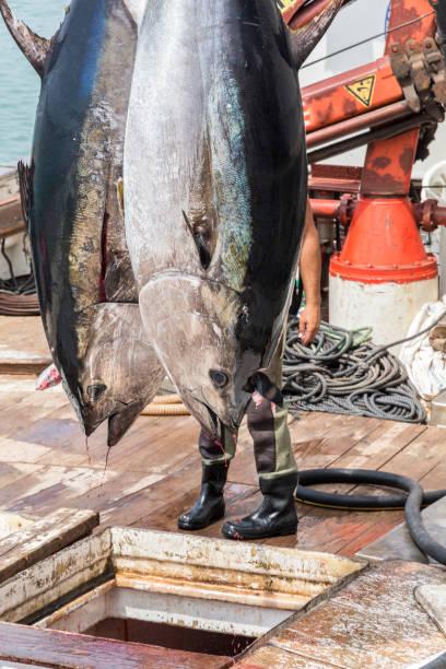 Fisherman are unloading Atlantic Bluefin tuna caught by the Almadraba maze net system at harbor pier. stock photo