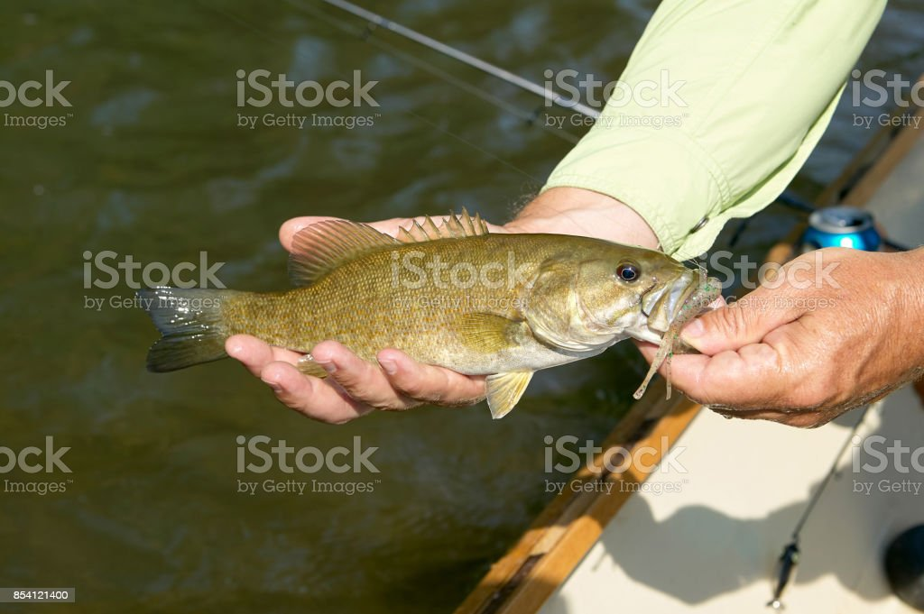 Fisherman displaying a small mouth bass stock photo