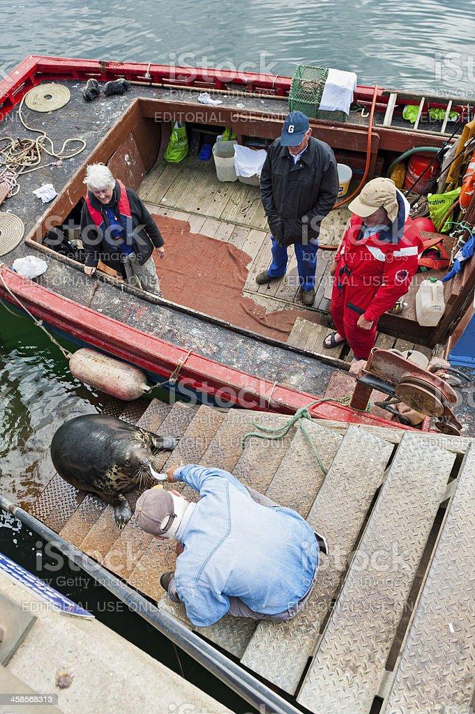 Fisherman feeding harbour seal Mallaig Highlands Scotland royalty-free stock photo