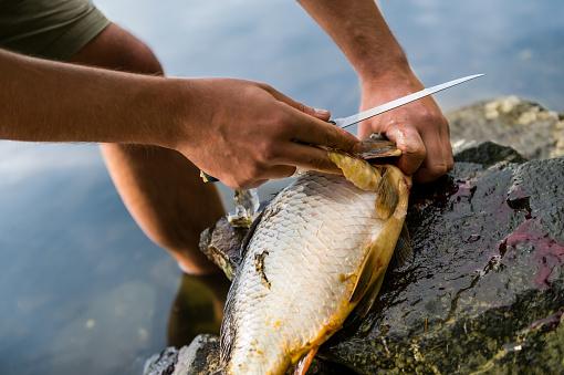 Fisherman filleting freshly caught freshwater carp, fisherman and his catch