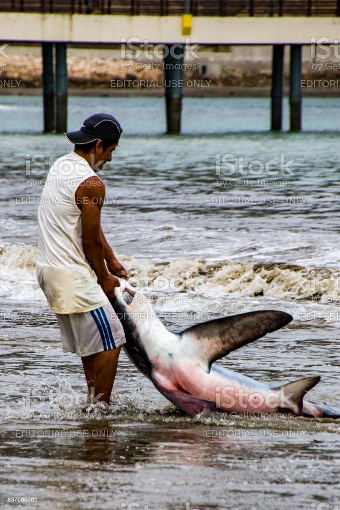 Fisherman hauls shark onto beach stock photo