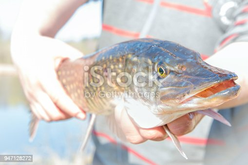 914030378 istock photo Fisherman holding a caught pike. 947128272