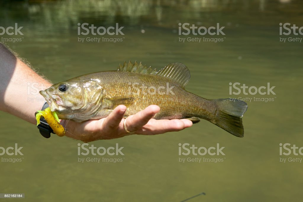 Fisherman holding a freshly caught smallmouth bass stock photo