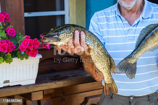 139888169istockphoto Fisherman holding a Northern Pike Esox lucius 1184480360