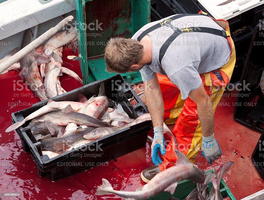 Fisherman unloading fish, Chatham Pier Fish Market, Cape Cod, Massachusetts. stock photo